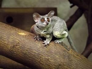 Online Diet Planner Senegal Bush Baby Animal Experiences At Wingham Wildlife