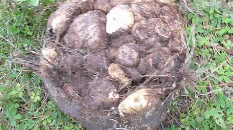yam harvest youtube
