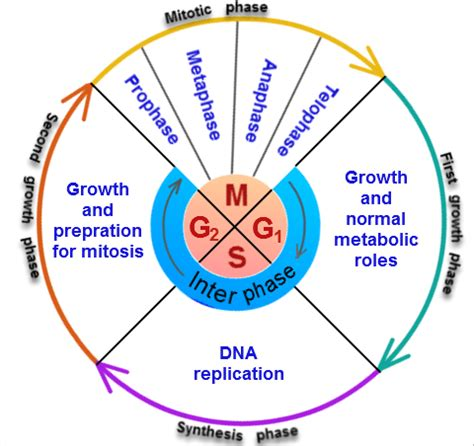 Cell Cycle  Phases Of Cell Cycle  Stages Biology