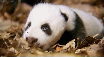 Animals Panda Sleepy Oh Really Gifs Pandas
