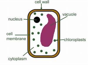 Plant Cell Diagrams