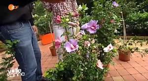 Gartenhibiskus Vermehren Stecklinge : hibiskus im garten tipps zu sorten pflege r ckschnitt ~ Lizthompson.info Haus und Dekorationen