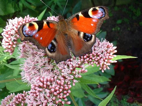 Mehr Schmetterlinge Im Garten  Mit Den Richtigen Pflanzen