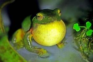 Green tree frog croaking Print by Lanjee Chee