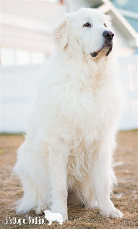 Great Pyrenees Shedding Help by 25 Best Ideas About Great Pyrenees Puppy On