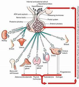 The Endocrine System  Structure And Function   Nursing  Part 1