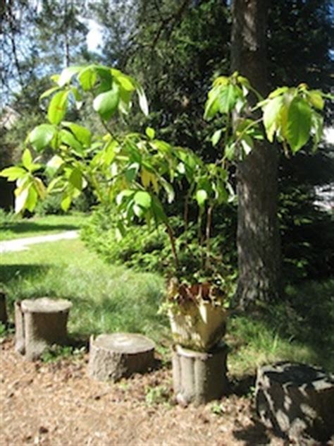 noyaux p 233 pins germinations faciles en int 233 rieur