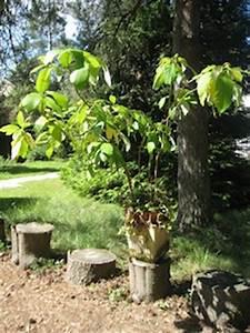 Planter Noyau Mangue : noyaux p pins germinations faciles en int rieur ~ Melissatoandfro.com Idées de Décoration
