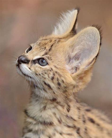 Serval Kitten Portrait Mike Wilson Wild About
