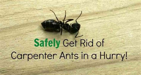 How To Get Rid Of Ants Inside The House by Get Rid Of Big Black Carpenter Ants Simple Guidelines