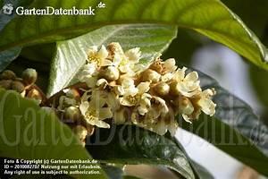 Kamelie Gelbe Blätter : wollmispel japanmispel loquate mispero nespoli ~ Lizthompson.info Haus und Dekorationen