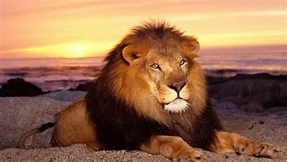 Lion Screensavers Lions Detroit Wallpapers Wallpapersafari