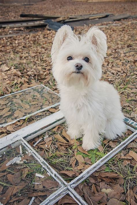 Do Morkie Poos Shed by Yorkie Maltese Mix 10 Interesting Facts That You Must