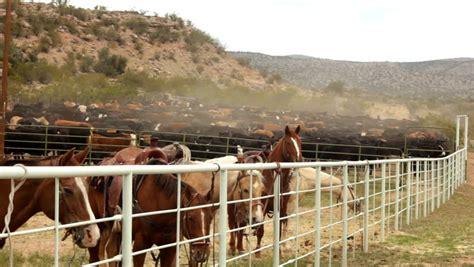 cattle horses corral horse cowboys roundup smaller shutterstock herd attached cows clip bringing cornville horseback az near april hd lot