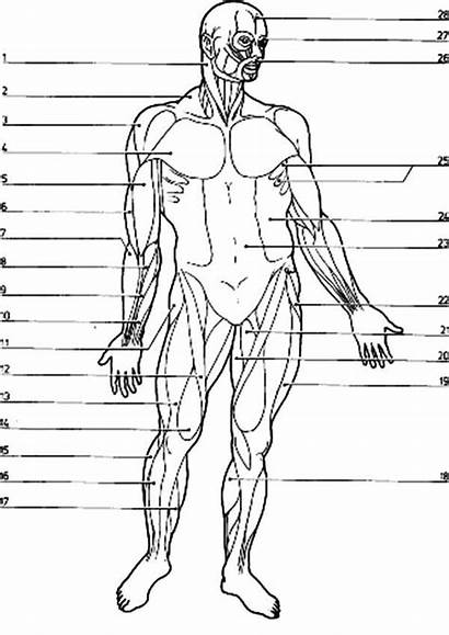 Coloring Muscle Muscles Leg Muscular Diagram System