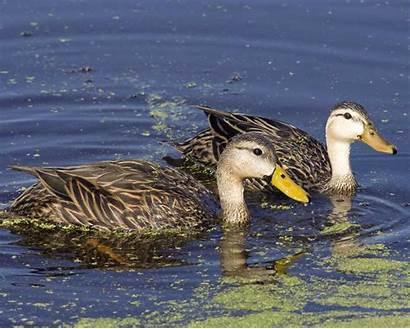 Mottled Duck Ducks Female Male Audubon Facts