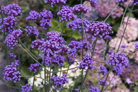 verveine de buenos aires en pot verveine de buenos aires planter et cultiver ooreka
