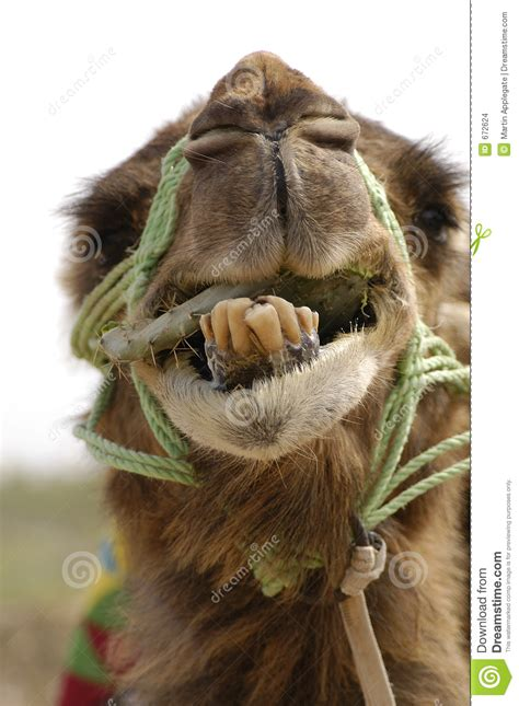 camel smile stock images image