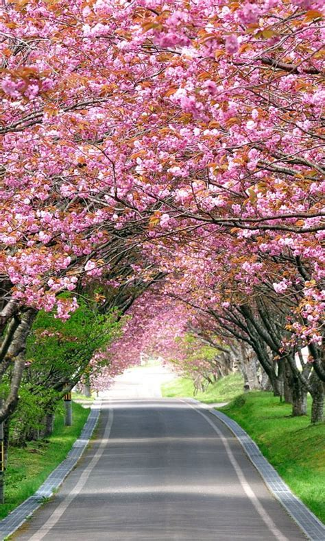 wallpaper cherry blossom trees spring hd nature