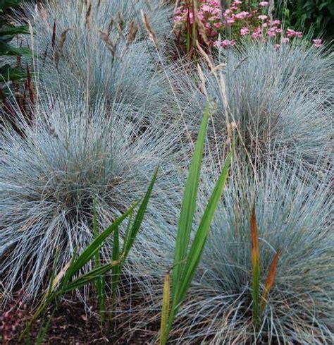 small ornamental grasses festuca glauca elijah blue blue fescue family poaceae originating from western europe