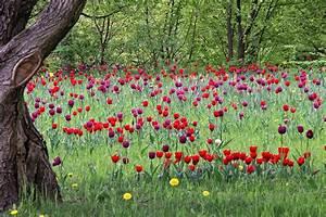 Tulpen Im Garten : tulpen auf der wiese garten ~ A.2002-acura-tl-radio.info Haus und Dekorationen