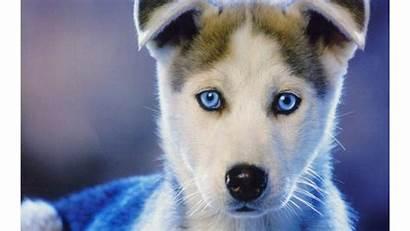 Siberian Husky 4k Wallpapers Huskies Wallpapersafari Eye