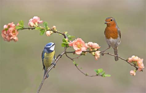 Download, share or upload your own one! Wallpaper birds, branch, tit, Robin images for desktop, section животные - download