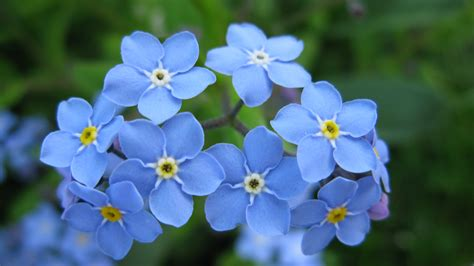 forget me nots forget me not in bolton a flower for remembering friends who are no longer here