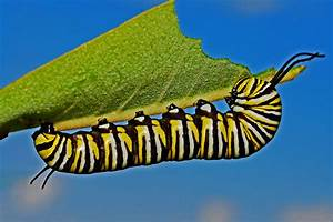 Free Images   Nature  Wing  Insect  Moth  Fauna  Invertebrate  Caterpillar  Monarch Butterfly