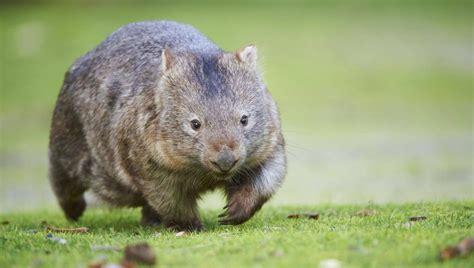 wombats wie der wuerfelfoermige kot der beuteltiere