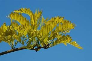 bathroom staging ideas sunburst honey locust trees thornless and podless