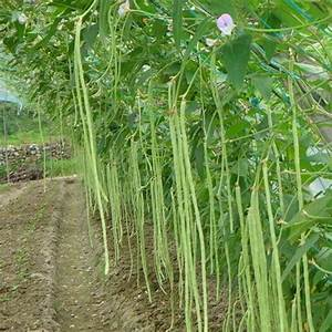 Popular Growing Green Beans-Buy Cheap Growing Green Beans ...