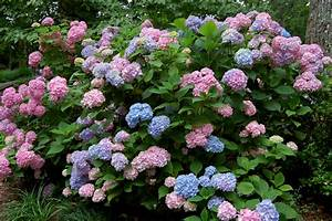 Hydrangea Macrophylla Winterhart : a month in the life of hydrangea macrophylla hortitopia ~ Michelbontemps.com Haus und Dekorationen