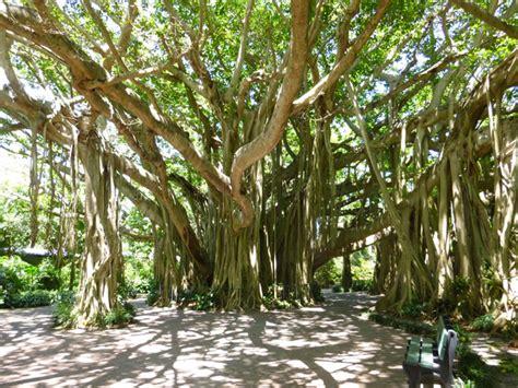 banyan tree photographs incredible snaps