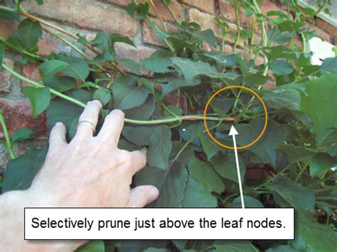 how to prune hydrangeas in the how to prune petiolaris climbing hydrangea landscapeadvisor