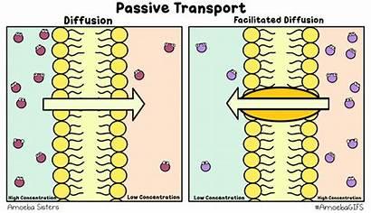 Simple Passive Difusion Transport Amoeba Diffusion Facilitated