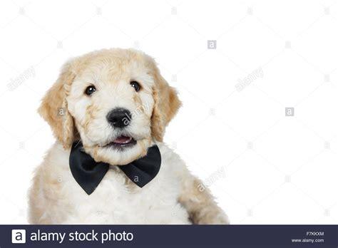 Golden Retriever Poodle Mix Stock Photos Golden