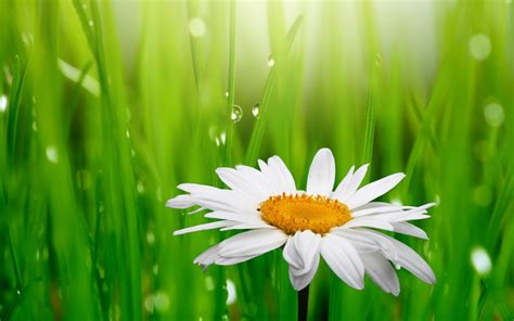 wallpaper daisy droplets green grass  flowers