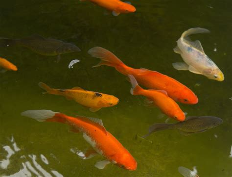 Garden Goldfish by Free Images White Clear Swim Feed Black Gill