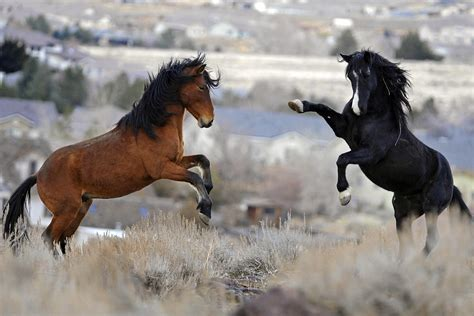 Wildes Fleisch Pferd Behandlung