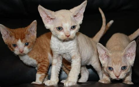 Devon Rex Cat Info, History, Personality, Kittens, Pictures
