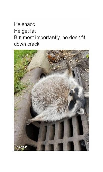 Funny Absolute Animal Unit Raccoon Memes Raccoons