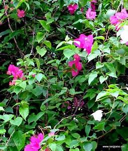 Couleur Complémentaire Du Rose : des bougainvilliers roses et la couleur rose paysages et ~ Zukunftsfamilie.com Idées de Décoration