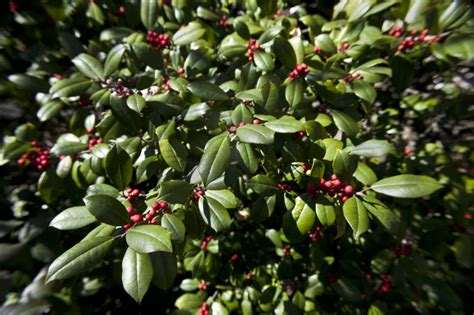green bush with berries green leaf shrub with red berries