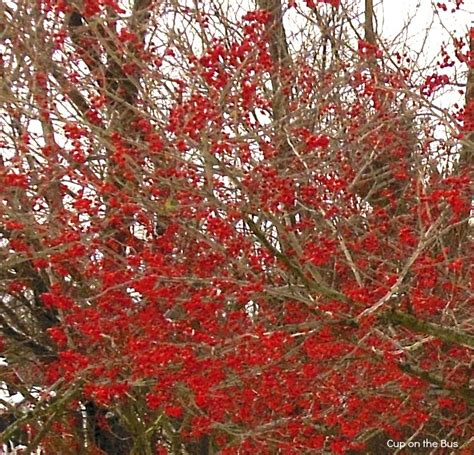 what deciduous tree has berries in winter cup on the berry trees on a cold and dreary day