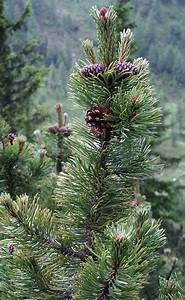 pin nain planter et entretenir ooreka With modeles de rocailles jardin 2 crassula planter et entretenir ooreka