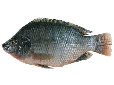tilapia fish farming modern farming methods