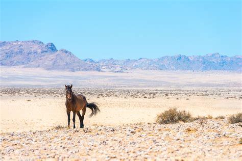 wild horses africa horse luderitz aus desert africageographic