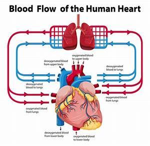 Diagram Showing Blood Flow Of Human Heart Vector