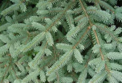 balsam fir tree water tree types bob vila